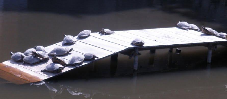 大勧進「放生池」亀すっぽん